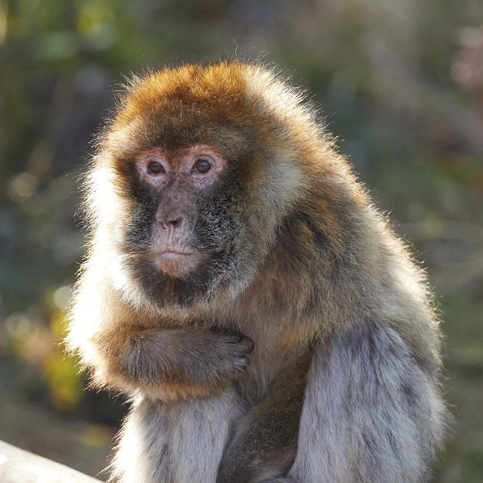 Back lit Barbary Macaque
