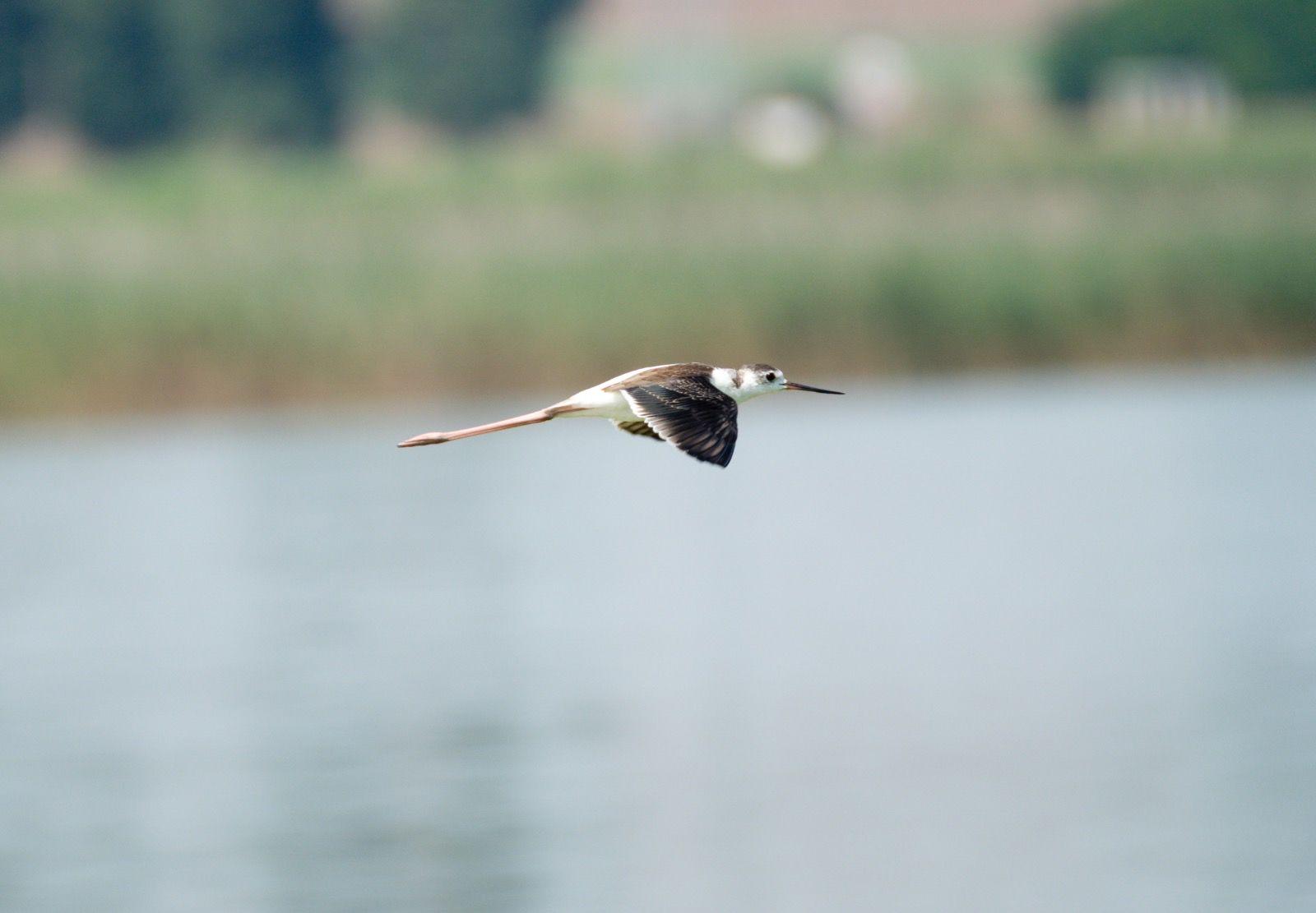 Black Winged Stilt in Flight