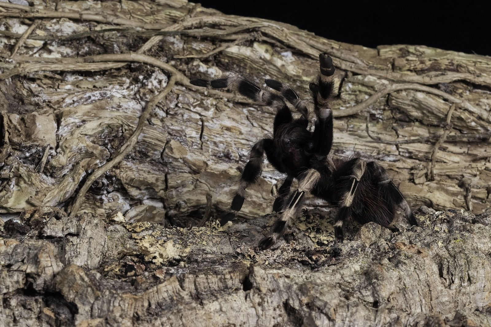 Brazilian Giant White Kneed Tarantula
