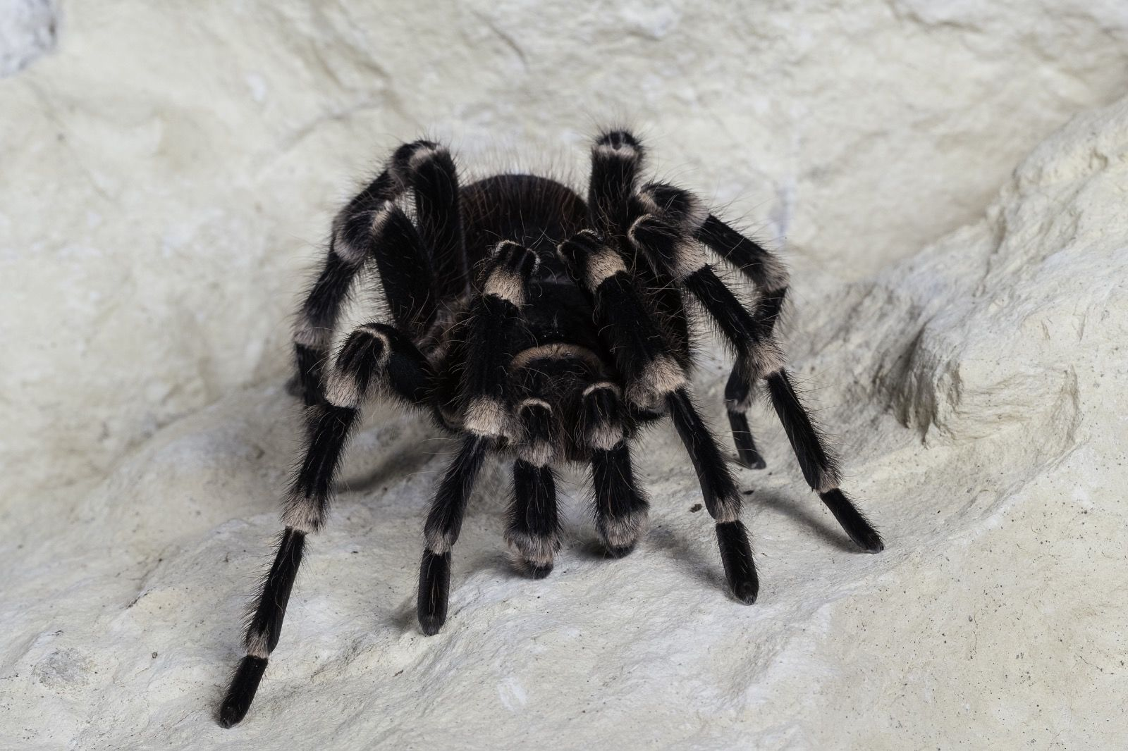 Brazilian Giant White Knee Tarantula Eyes