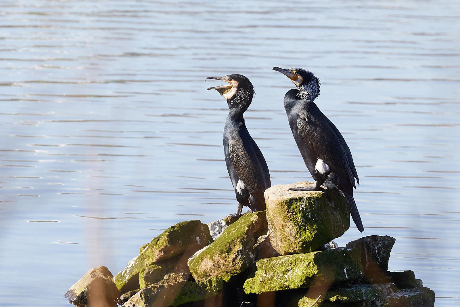 Cormorants sat on a rock