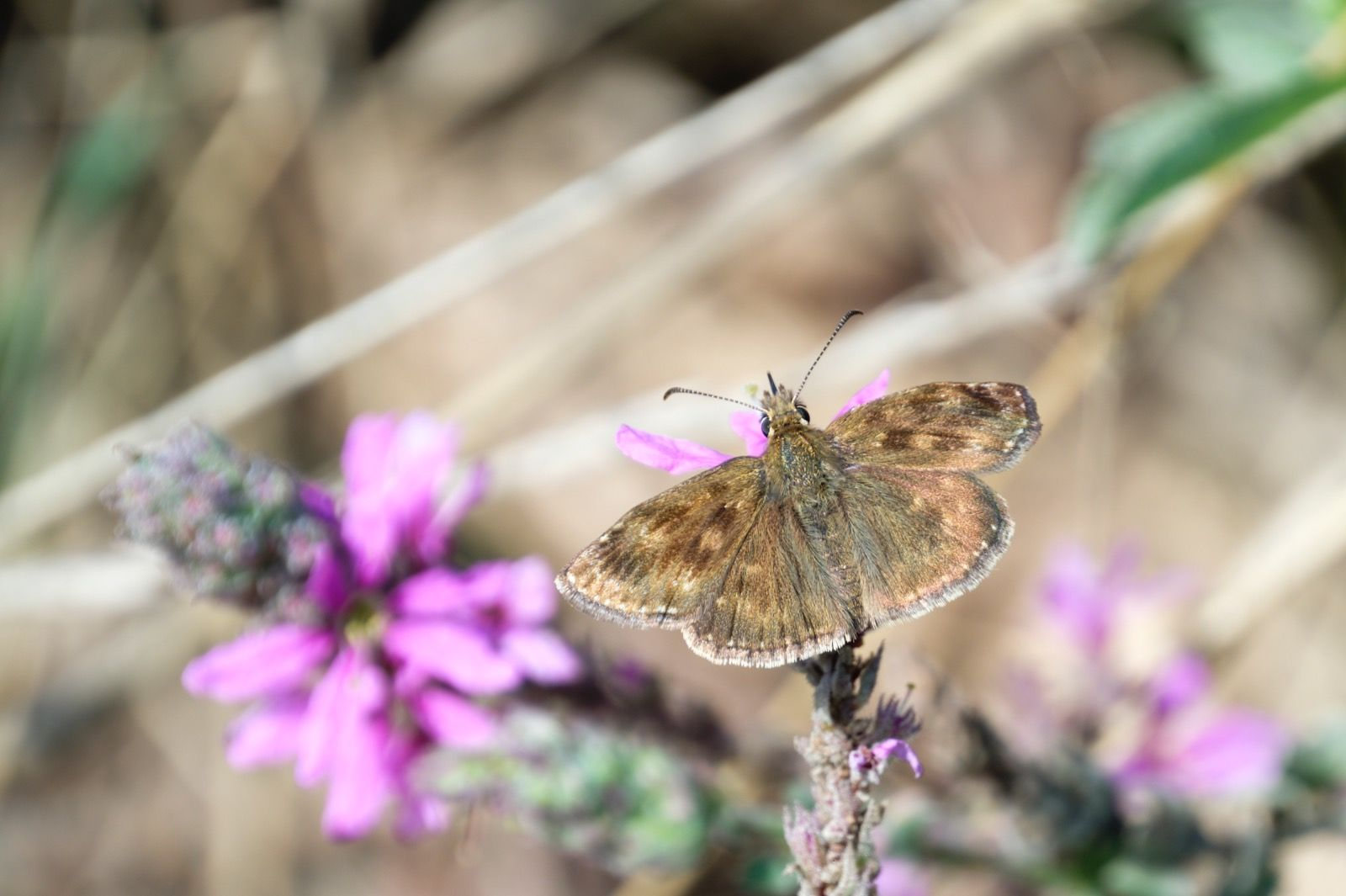 Dingy Skipper on another Flower