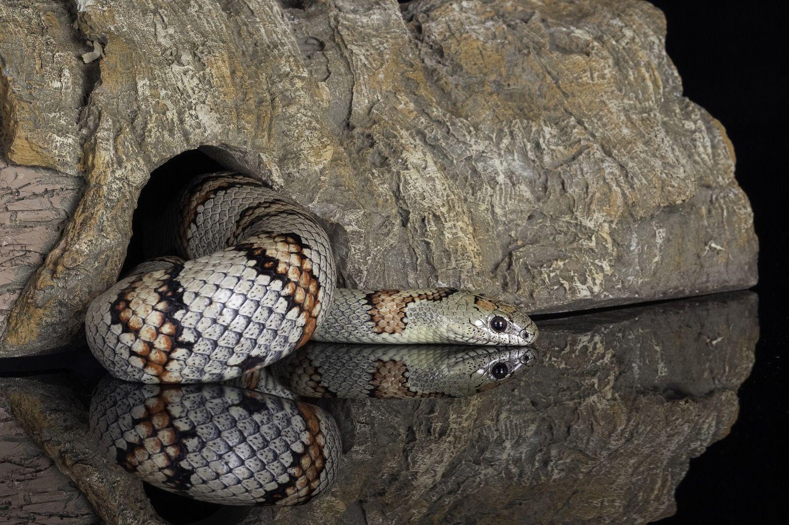 Grey Banded Snake