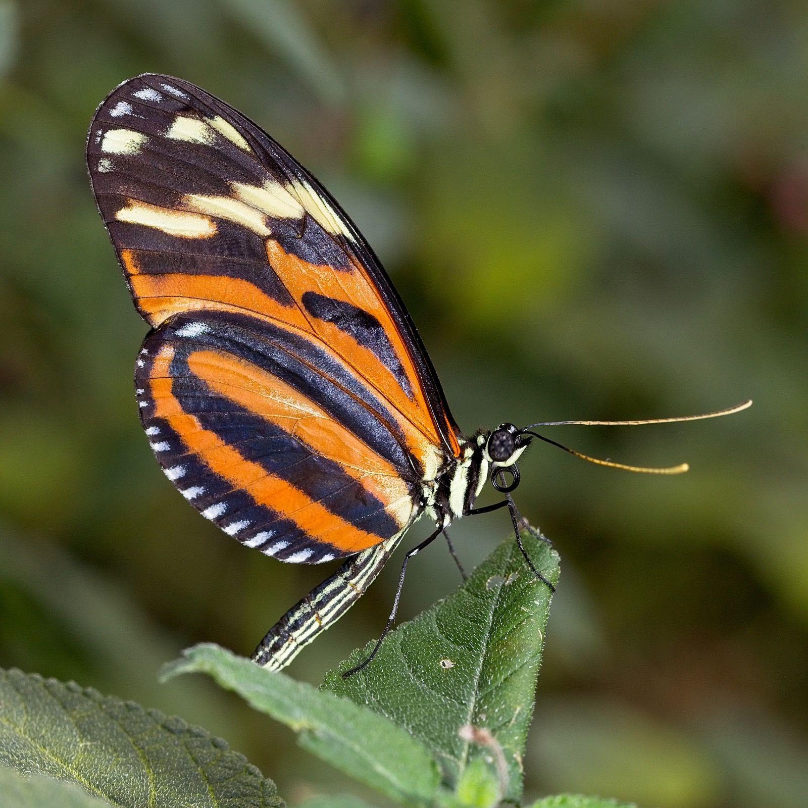 Ismenius Tiger Stratford Butterfly Farm