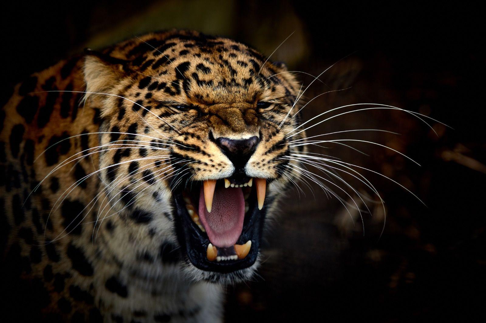 Jaguar Showing Teeth