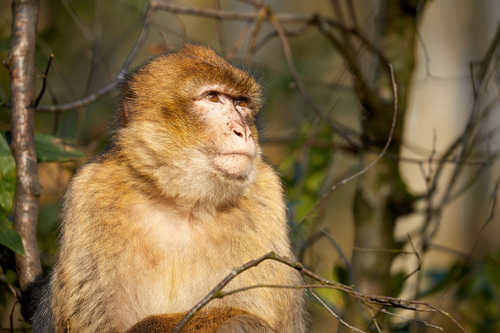 Thoughtful Barbary Macaque