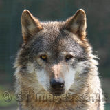 Alpha Male Wolf - I'm Watching You