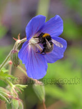Busy Bee on Blue Geranium