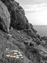 Daisies in the Granite Rocks B&W