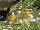 Daisy Ducklings