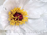 Heart of the Tree Peony