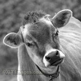 Hey - You Think I'm Funny - Jersey Cow B&W