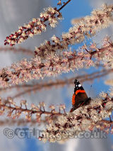 Irresistible Blossom with Red Admiral Butterfly