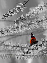 Irresistible Blossom in Black and White with Red Admiral Butterfly