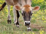 Look Into My Eyes - Jersey Cow