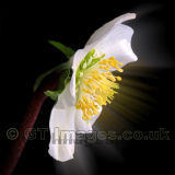Lighting The Darkness-White Hellebore