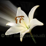 Lily Trumpet (Square)