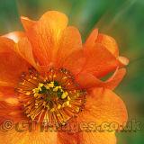 Orange Glow-Geum