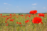 Poppy Fields 1