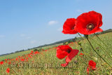 Poppy Fields 2