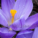 Purple Crocus In The Rain
