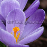 Purple Crocus Square