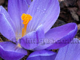 Purple Rain-Crocus