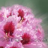 Rhododendron Romance Square