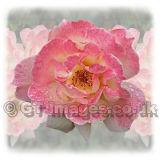 Vintage Rose (Square)