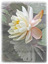 Vintage Water Lily reflections