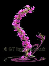 Whirling Purple loosestrife