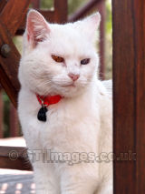 White Cat Under the Garden Chair