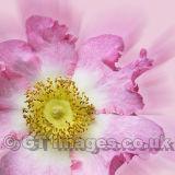 Wild Thing-Pink Rose