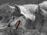 Alpha Male Wolf - You Look Tasty 2