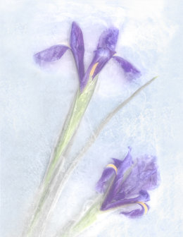 Frosty Irises