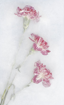 Iced Carnations