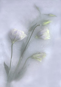 Iced Flowers