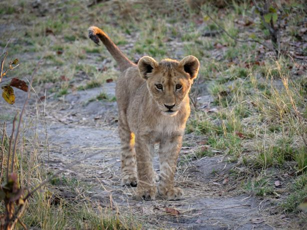 A Young Lion Cub Goes Exploring