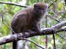 Bamboo Lemur, Madagascar
