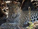 Female Leopard in her Den