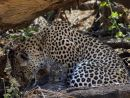 Female leopard with 2 week old cub