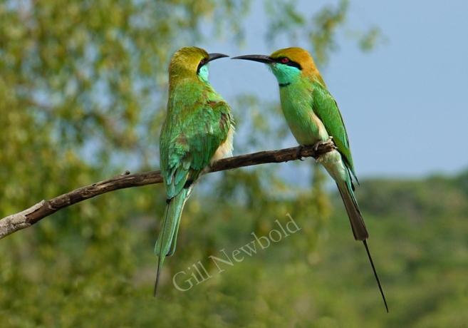 Green Bee Eater Female and Male