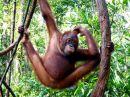 Juvenile Orangutan, Tanjung Puting National Park, Indonesia