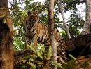 King of the Jungle, Kanha Tiger Reserve, India
