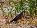 Madagascar Harrier Hawk