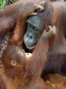 Orangutan mother and baby, Tanjung Puting, Indonesia