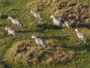 Flying over herds of zebra