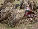 Vultures and the remains of a young wildebeest