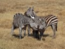 Zebras at Ngorongoro