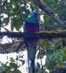 Resplendant quetzal at dawn